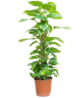 Комнатное Растение Скиндапсус