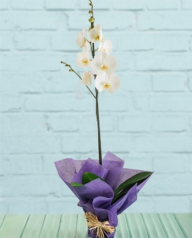 Elegant Orchid Gift Plant