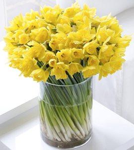 101 Sunbeam Narcissus