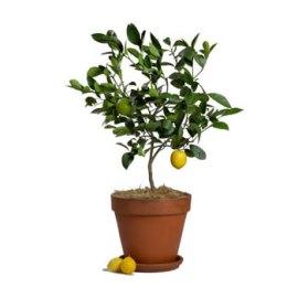 Medium Lemon Tree with Lemons