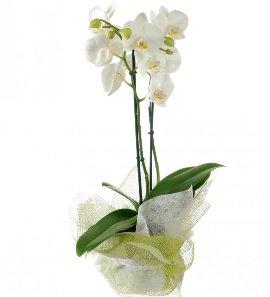 White Phalaenopsis Orchid 2 stems